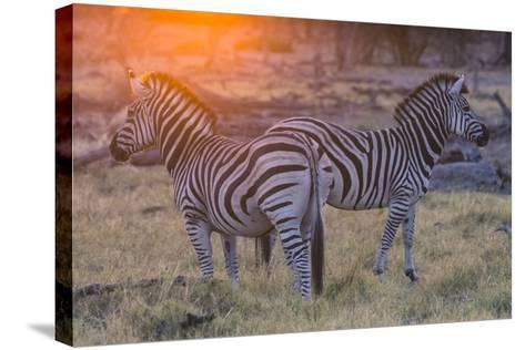 Botswana. Okavango Delta. Khwai Concession. Burchell's Zebra at Sunrise-Inger Hogstrom-Stretched Canvas Print