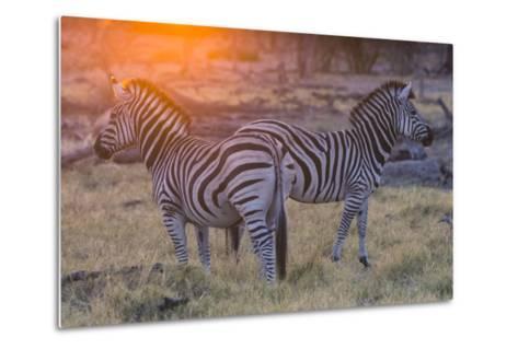 Botswana. Okavango Delta. Khwai Concession. Burchell's Zebra at Sunrise-Inger Hogstrom-Metal Print