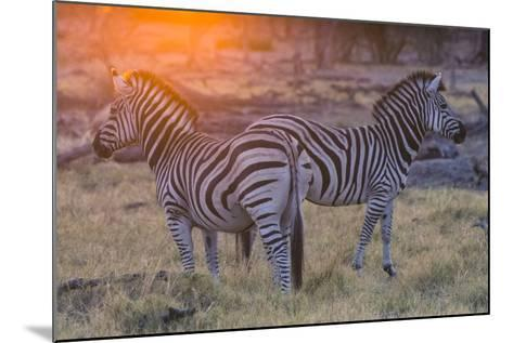 Botswana. Okavango Delta. Khwai Concession. Burchell's Zebra at Sunrise-Inger Hogstrom-Mounted Photographic Print