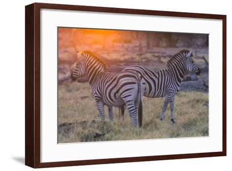 Botswana. Okavango Delta. Khwai Concession. Burchell's Zebra at Sunrise-Inger Hogstrom-Framed Art Print