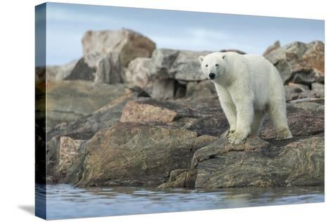 Polar Bear Standing at Water's Edge Along Hudson Bay Near Arctic Circle,Canada-Paul Souders-Stretched Canvas Print