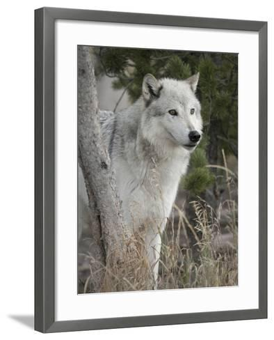 Gray Wolf, Canis Lupus, West Yellowstone, Montana-Maresa Pryor-Framed Art Print