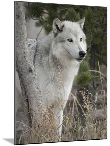 Gray Wolf, Canis Lupus, West Yellowstone, Montana-Maresa Pryor-Mounted Photographic Print