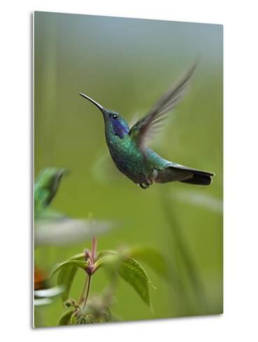 Green Violet-Ear and Green-Breasted Mango Hummingbirds, Costa Rica-Tim Fitzharris-Metal Print