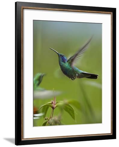 Green Violet-Ear and Green-Breasted Mango Hummingbirds, Costa Rica-Tim Fitzharris-Framed Art Print