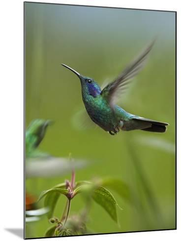 Green Violet-Ear and Green-Breasted Mango Hummingbirds, Costa Rica-Tim Fitzharris-Mounted Photographic Print