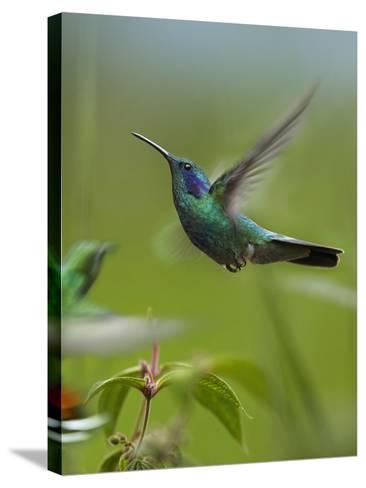 Green Violet-Ear and Green-Breasted Mango Hummingbirds, Costa Rica-Tim Fitzharris-Stretched Canvas Print