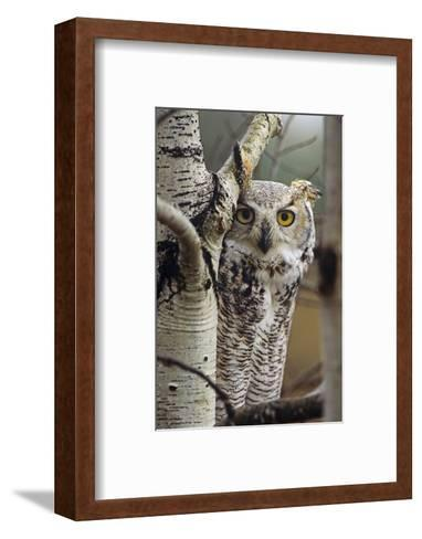 Great Horned Owl Pale Form, British Columbia, Canada-Tim Fitzharris-Framed Art Print