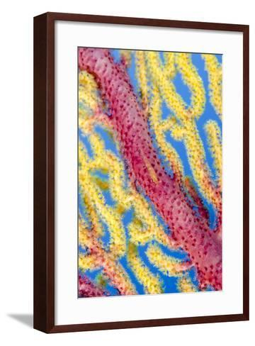 Indonesia, Forgotten Islands. Goby Fish on Soft Coral-Jaynes Gallery-Framed Art Print