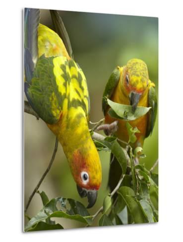 Conure Parrots, Costa Rica-Tim Fitzharris-Metal Print