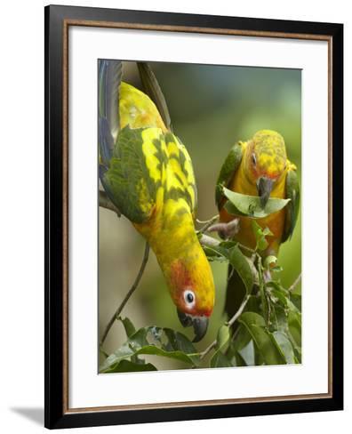 Conure Parrots, Costa Rica-Tim Fitzharris-Framed Art Print
