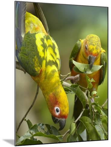 Conure Parrots, Costa Rica-Tim Fitzharris-Mounted Photographic Print