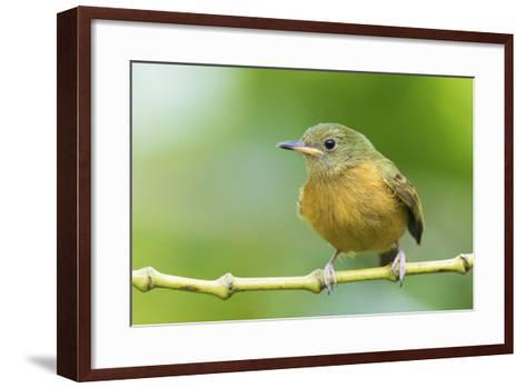 Ochre-Bellied Flycatcher-Ken Archer-Framed Art Print