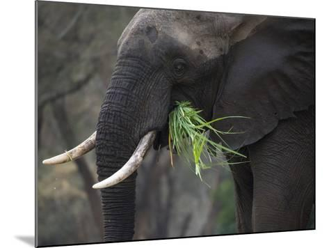 Africa, Zambia. Close-Up of Elephant Eating Grass-Jaynes Gallery-Mounted Photographic Print