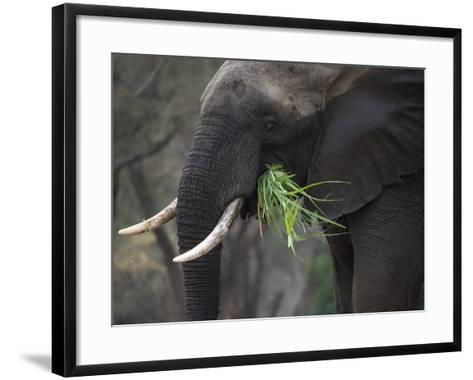 Africa, Zambia. Close-Up of Elephant Eating Grass-Jaynes Gallery-Framed Art Print