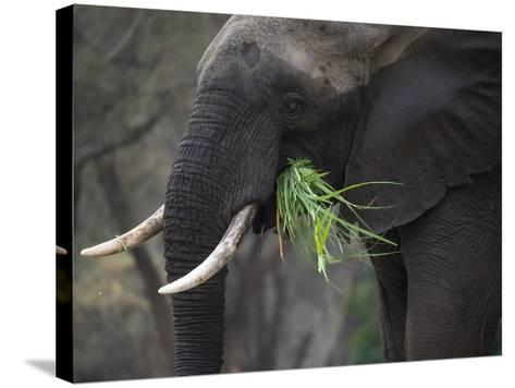 Africa, Zambia. Close-Up of Elephant Eating Grass-Jaynes Gallery-Stretched Canvas Print