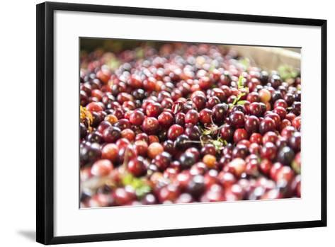 Massachusetts, Wareham, Cranberries-Lisa S^ Engelbrecht-Framed Art Print