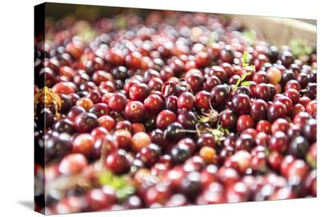 Massachusetts, Wareham, Cranberries-Lisa S^ Engelbrecht-Stretched Canvas Print