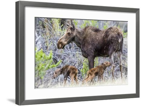 Wyoming, Sublette County, a Cow Moose Stands by Her Twin Newborn Calves-Elizabeth Boehm-Framed Art Print