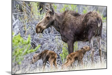 Wyoming, Sublette County, a Cow Moose Stands by Her Twin Newborn Calves-Elizabeth Boehm-Mounted Photographic Print