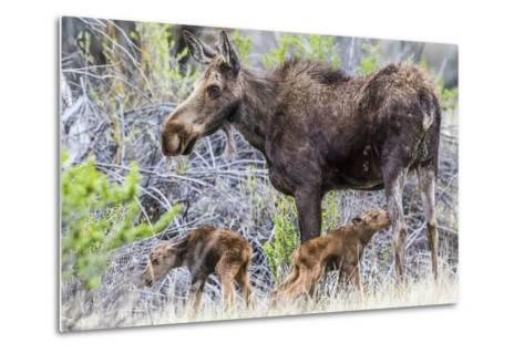 Wyoming, Sublette County, a Cow Moose Stands by Her Twin Newborn Calves-Elizabeth Boehm-Metal Print