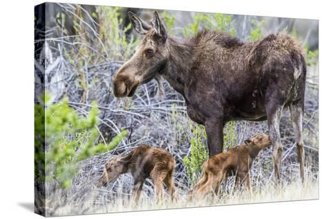 Wyoming, Sublette County, a Cow Moose Stands by Her Twin Newborn Calves-Elizabeth Boehm-Stretched Canvas Print