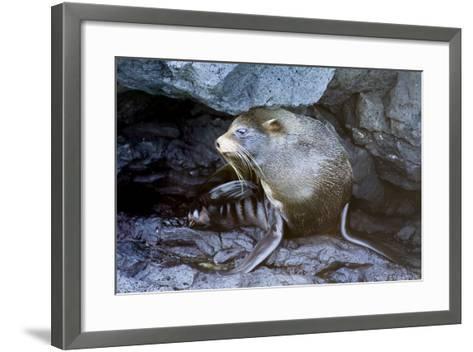 Ecuador, Galapagos Islands, Santiago, Puerto Egas. Galapagos Sea Lion in the Rocks-Ellen Goff-Framed Art Print