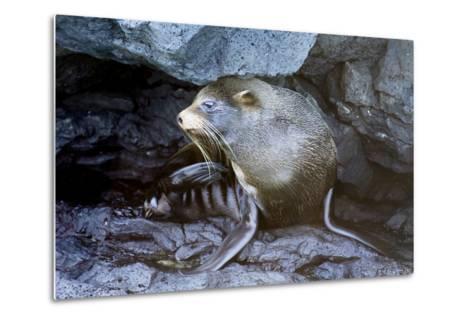 Ecuador, Galapagos Islands, Santiago, Puerto Egas. Galapagos Sea Lion in the Rocks-Ellen Goff-Metal Print