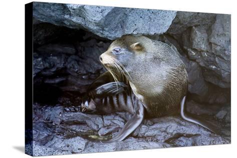 Ecuador, Galapagos Islands, Santiago, Puerto Egas. Galapagos Sea Lion in the Rocks-Ellen Goff-Stretched Canvas Print