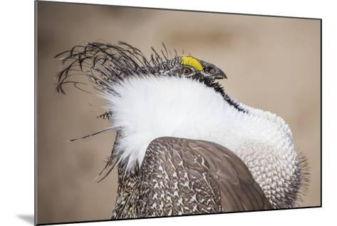 Wyoming, a Greater Sage Grouse Displays Showing Off His Headdress in a Portrait Photo-Elizabeth Boehm-Mounted Photographic Print