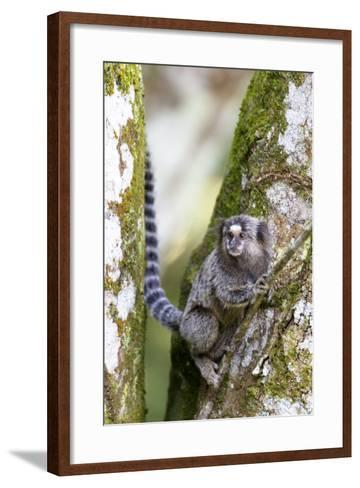 Brazil, Sao Paulo. Common Marmosets in the Trees-Ellen Goff-Framed Art Print
