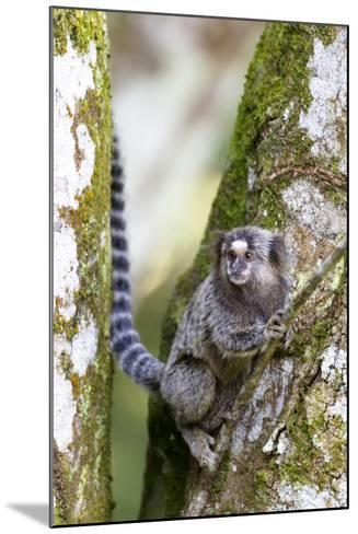 Brazil, Sao Paulo. Common Marmosets in the Trees-Ellen Goff-Mounted Photographic Print