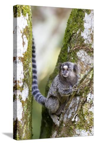 Brazil, Sao Paulo. Common Marmosets in the Trees-Ellen Goff-Stretched Canvas Print