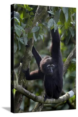 Mueller's Gibbon Hanging in a Tree, Singapore-Tim Fitzharris-Stretched Canvas Print