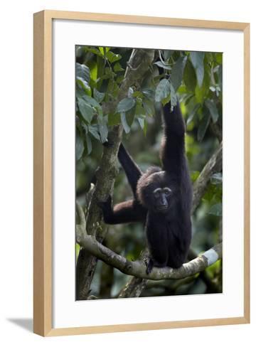 Mueller's Gibbon Hanging in a Tree, Singapore-Tim Fitzharris-Framed Art Print