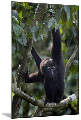 Mueller's Gibbon Hanging in a Tree, Singapore-Tim Fitzharris-Mounted Photographic Print