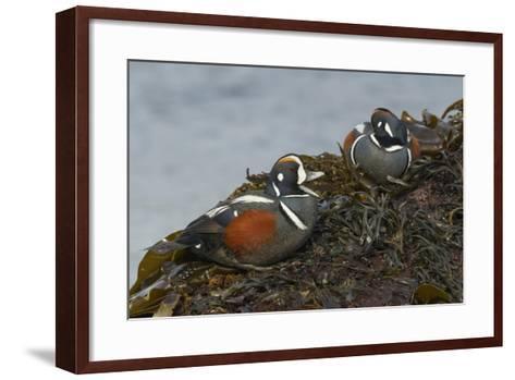 Harlequin Drakes-Ken Archer-Framed Art Print