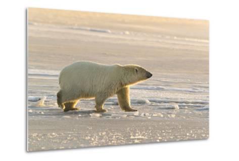 Polar Bears Near Kaktovic, Alaska-Howie Garber-Metal Print
