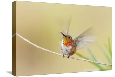Rufous Hummingbird Male Takeoff-Larry Ditto-Stretched Canvas Print