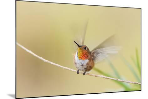 Rufous Hummingbird Male Takeoff-Larry Ditto-Mounted Photographic Print