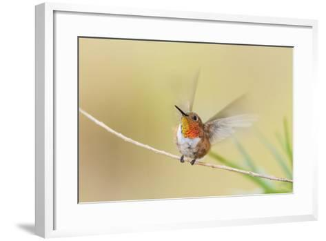 Rufous Hummingbird Male Takeoff-Larry Ditto-Framed Art Print
