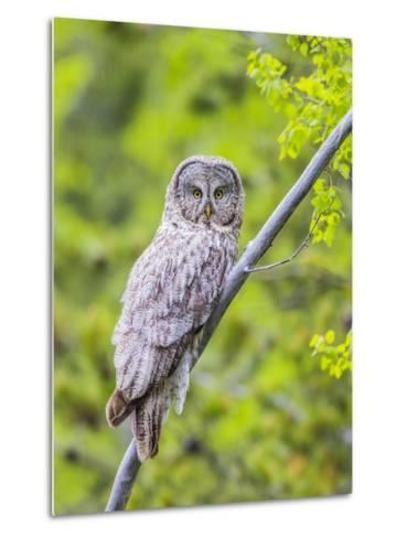 Wyoming, Grand Teton National Park, an Adult Great Gray Owl Roosts on a Branch-Elizabeth Boehm-Metal Print