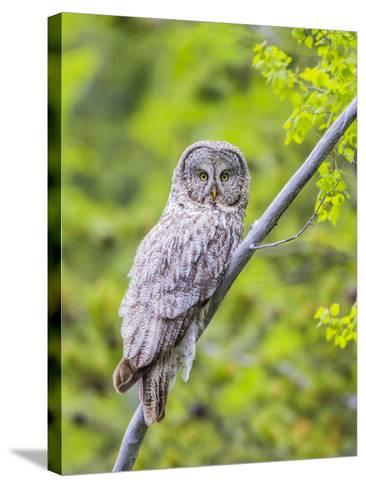 Wyoming, Grand Teton National Park, an Adult Great Gray Owl Roosts on a Branch-Elizabeth Boehm-Stretched Canvas Print