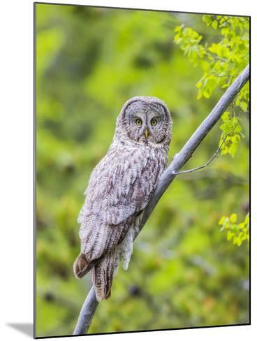 Wyoming, Grand Teton National Park, an Adult Great Gray Owl Roosts on a Branch-Elizabeth Boehm-Mounted Photographic Print