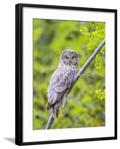 Wyoming, Grand Teton National Park, an Adult Great Gray Owl Roosts on a Branch-Elizabeth Boehm-Framed Art Print