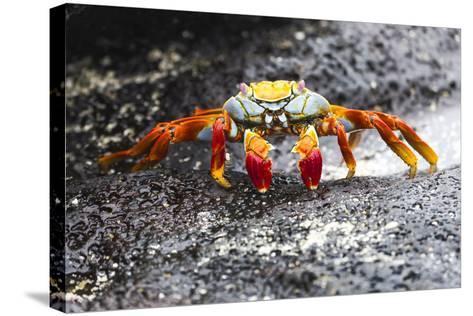 Ecuador, Galapagos Islands, Sombrero Chino. Sally Lightfoot Crab on Wet Rocks-Ellen Goff-Stretched Canvas Print