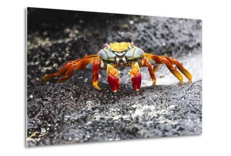 Ecuador, Galapagos Islands, Sombrero Chino. Sally Lightfoot Crab on Wet Rocks-Ellen Goff-Metal Print