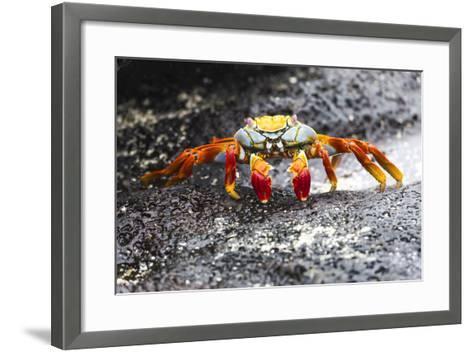 Ecuador, Galapagos Islands, Sombrero Chino. Sally Lightfoot Crab on Wet Rocks-Ellen Goff-Framed Art Print