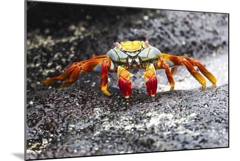 Ecuador, Galapagos Islands, Sombrero Chino. Sally Lightfoot Crab on Wet Rocks-Ellen Goff-Mounted Photographic Print
