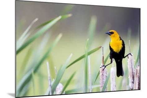 Wyoming, Sublette County, a Yellow-Headed Blackbird Male Straddles Several Cattails-Elizabeth Boehm-Mounted Photographic Print